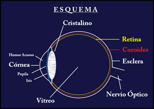 Oftalmologia-online - Anatomía del Globo Ocular